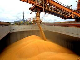 Corn for animal feed, protein 8 % - volume from 5 000 - 50 0