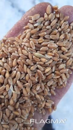 公司出口小麦3、4类。Компания экспортирует пшеницу 3, 4 класса.