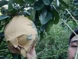 Помело медовое, Фуцзянь - фото 3