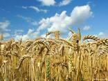 Продам пшеницу - фото 1