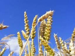 Пшеница , кукуруза поставки CIF