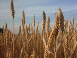 Пшеница мягкая, твердая, лен , подсолнечник
