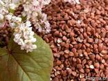 Семена Канадские Сои, Кукурузы, Подсолнуха, Рапса, Пшеницы, Ячмен - фото 3