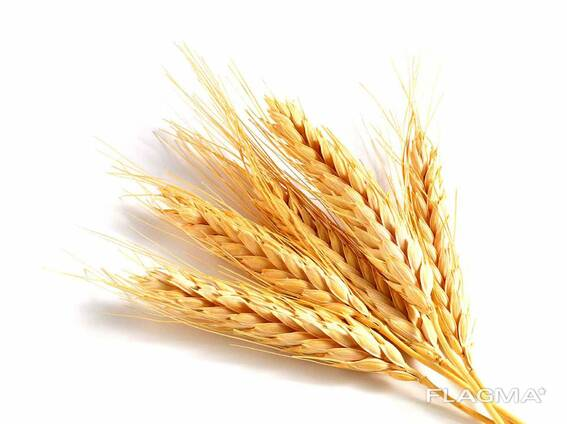 Пшеница в наличии